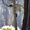 Bear Tree 2