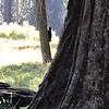 Bear Tree 1