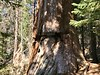 The Sawed Tree