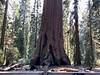 California Tree base