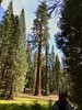 Just another Sequoia