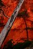 Pine tree and red rocks in shade along Navajo Loop trail, Bryce Canyon N.P. Utah