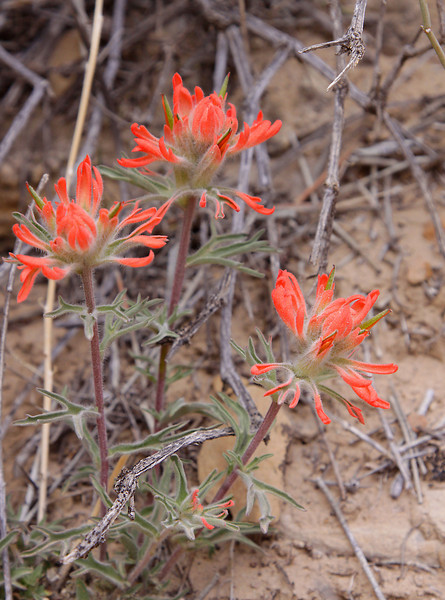 Indian paintbrush, Tusher Canyon, Utah