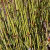 Reeds, Tusher Canyon, Utah.