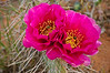Cactus flower in Canyonlands NP
