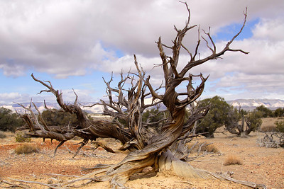 Sculpted tree, Willow Creek Canyon, Utah