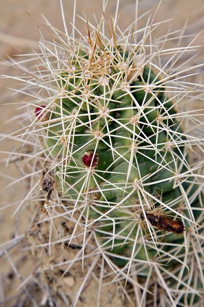 Cactus, Tusher Canyon, Utah