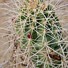 Cactus, Tusher Canyon, Utah