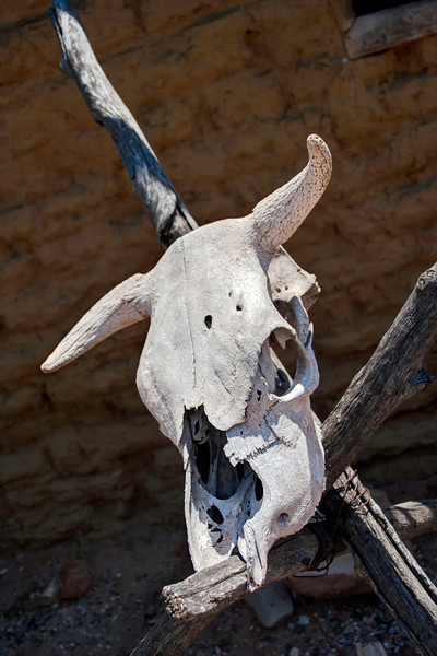 Bleached steer skull
