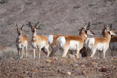 Antelopes near Green River, Utah