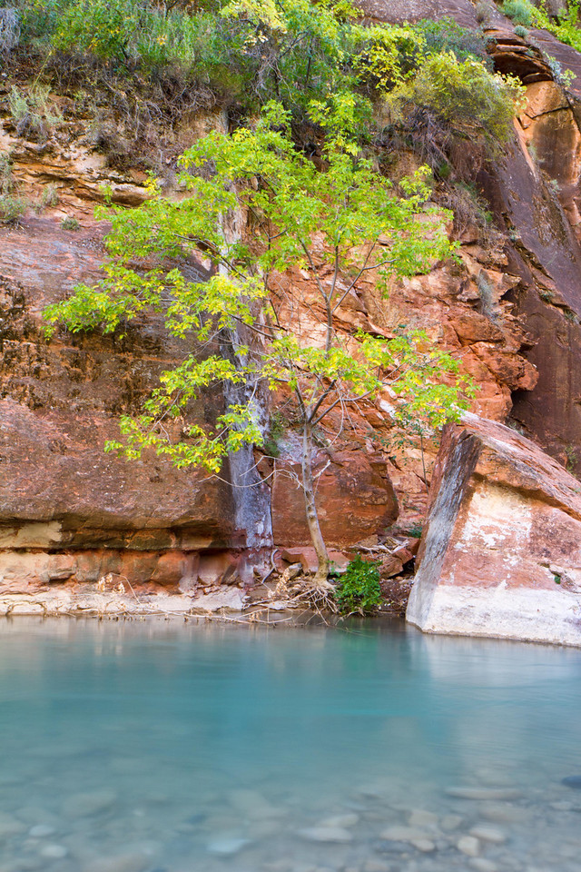 A tree stands next to the still water of the Virgin River