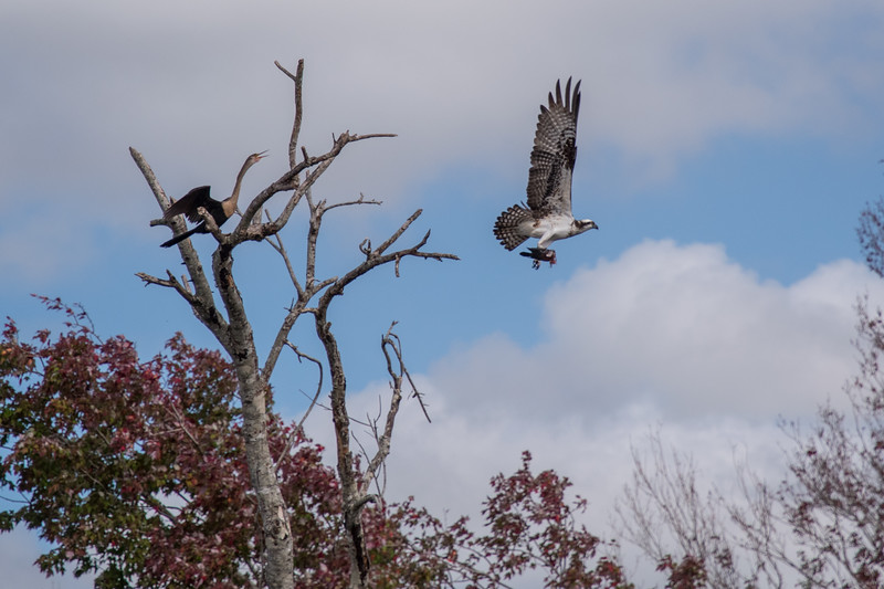 Osprey with food