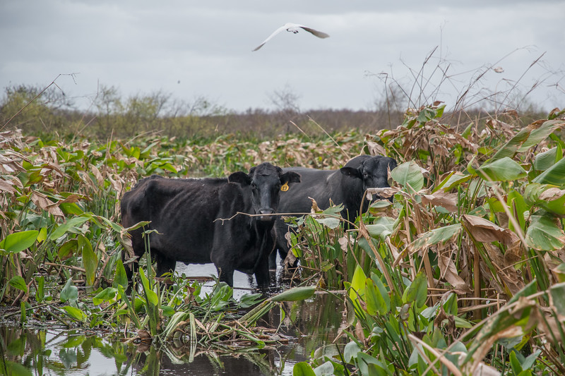 Cattle in the lake