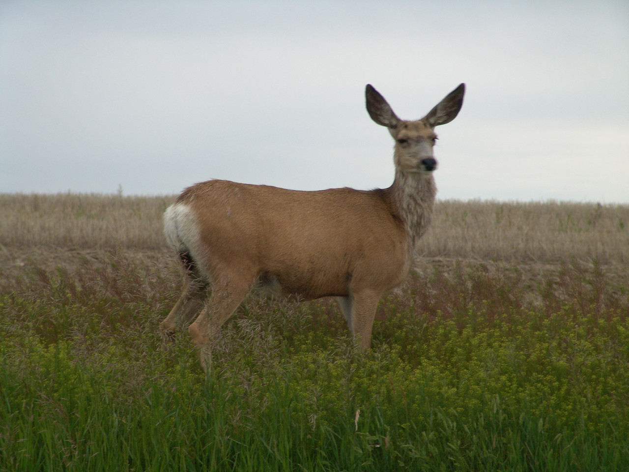 Approaching Maple Creek on highway 21 south I found this guy who was gracious enough to pose for me.