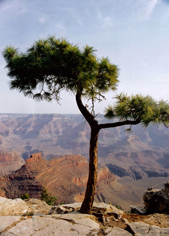 GRAND CANYON , ARIZONA: Yeah, I really love those trees.