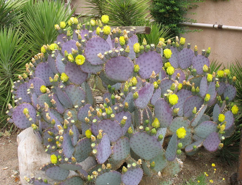 It was in Sedona that I saw this Prickly Pear Cactus with lovely yellow flowers.
