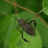 Texas - Giant Agave Bug (Acanthocephala thomasi) at Brazos Bend State Park