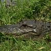 Texas - Basking alligator at Brazos Bend State Park