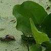 Texas - Alligator hatchling at Brazos Bend State Park