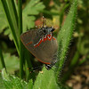 Texas - Red-banded Hairstreak (Calycopis cecrops) in a vacant lot in Katy, Texas