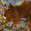 Utah - Zion National Park, Zion Canyon squirrel