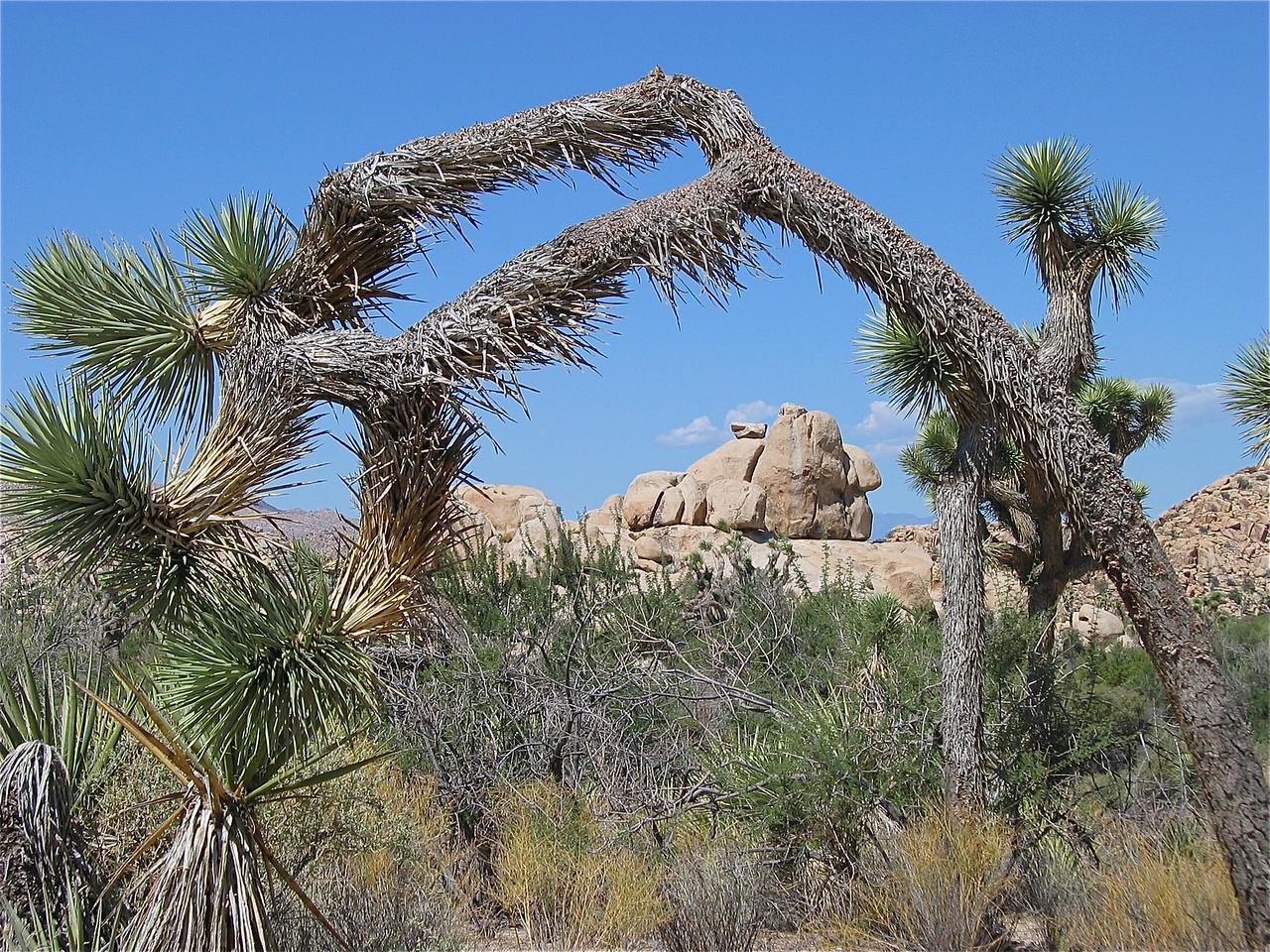 Joshua Tree = a tree of life. Joshua Tree National Park, California, USA.
