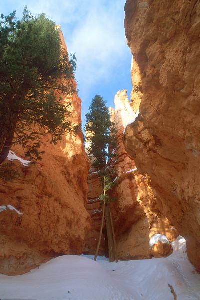 Tree at Wall Street, Bryce Canyon National Park.