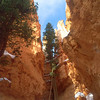 Tree at Wall Street, Bryce Canyon National Park.