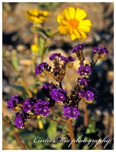 Winter desert flowers.