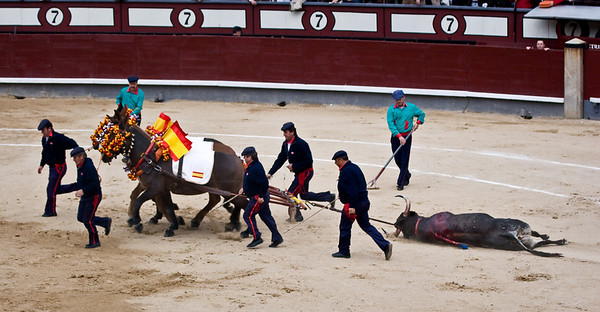 The bull is paraded around the ring