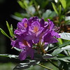 A variety of rhododendron in the Royal Botanical Garden in Madrid.<br /> May 16, 2008.