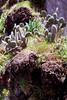 Cactii growing on Madeira coast