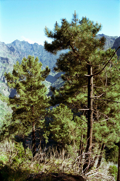 Coniferous trees and mountains at Nun's Valley Madeira