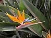 Bird of Paradise Flower Strelizia Reginae Madeira
