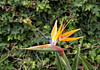 Bird of Paradise Flower Strelizia Reginae at the Botanical Gardens Funchal Madeira