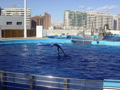 Dolphins balancing a man.