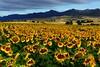 SPA - Sunflower near Pancorbo - DSC03267sm
