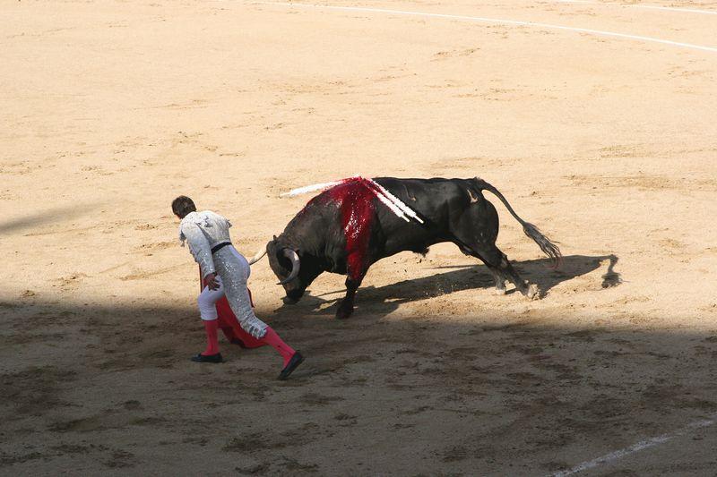 Blood loss weakens the bull also