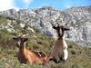 Las cabras más curiosas que nosotros, podiamos acercarnos hasta casi tocarlas