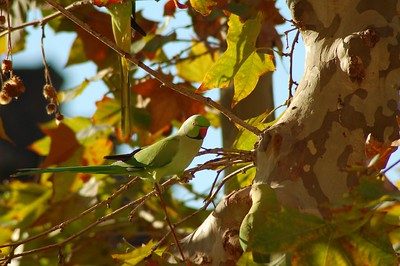 Parrot III