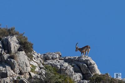 Iberian Mountain Goat, Caminito del Rey