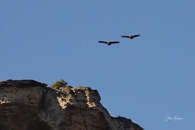 Griffon Vultures, Caminito del Rey