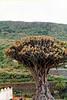 Drago milenario en Icod de los Vinos (Tenerife)