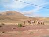 Turistas sobre camellos en Fuerteventura