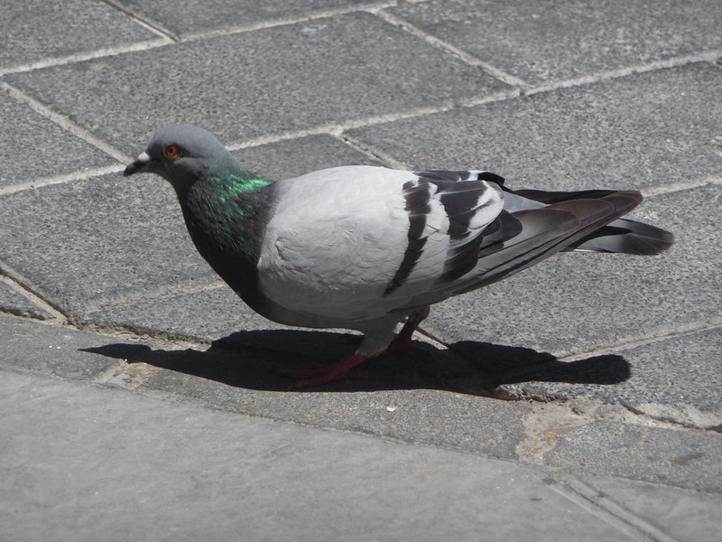 Cute plump pigeon waiting for more bread crumbs while we ate at a cafe.