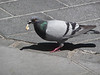 Pigeon getting a snack