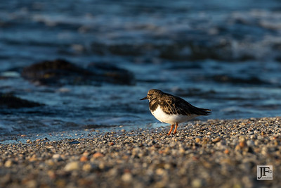 Turnstone, Mijas Costa