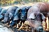 Cerdos Ibericos de Pata Negra