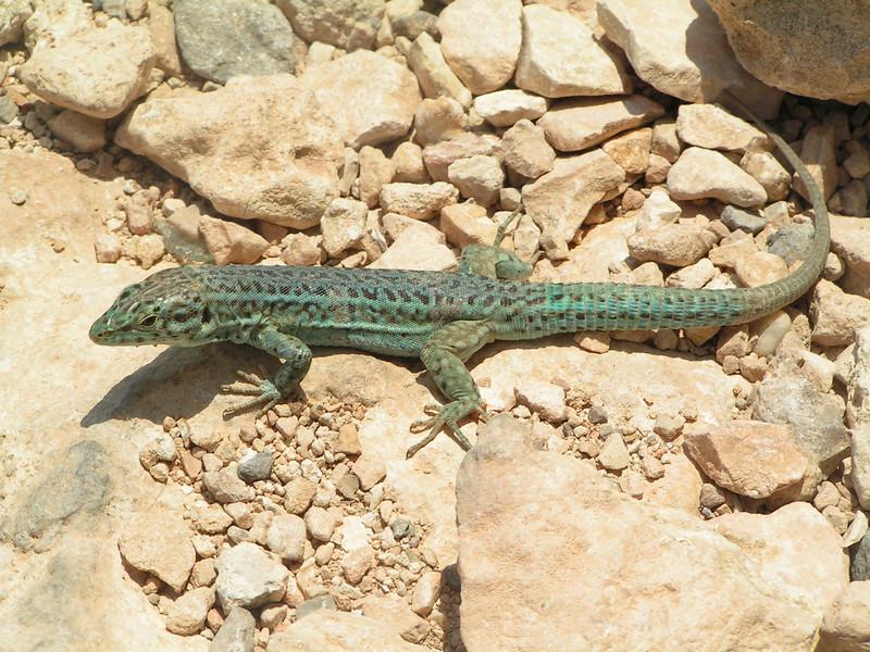 lagarto, símbolo de la isla