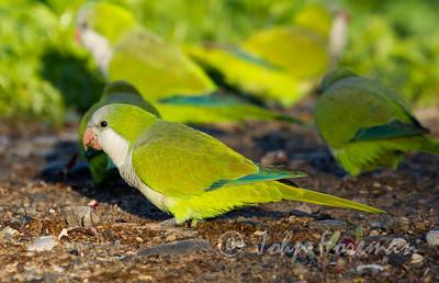 Monk Parakeet, Gran Canaria